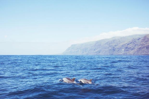 Delfiinien bongausta