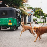 Koirat ja tuk-tukit ovat yleinen näky Sri Lankan katukuvassa.